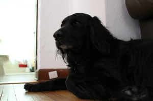 Bear, who stayed with us for a week while his person traveled.